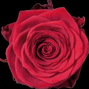 variedades de rosas